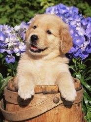 1149234golden-retriever-puppy-in-bucket-canis-familiaris-illinois-usa-posters